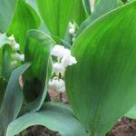 スズランが咲き出した