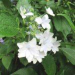 墨田の花火-アジサイが咲いています