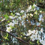 スモモの花が咲き出した