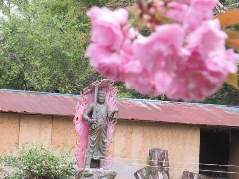 八重桜と不動明王